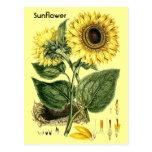 Vintage Botanical Sunflower Garden Spring Postcard