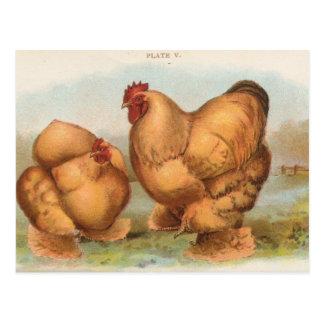 "Vintage ""Buff Cochin Chickens"" Postcard"