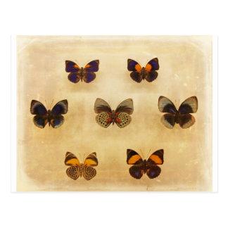 Vintage Butterfly Display Postcard