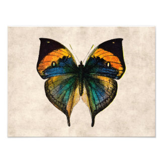 Vintage Butterfly Illustration 1800's Butterflies Photo Print