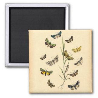 Vintage Butterfly illustrations -Magnet 2 Inch Square Magnet