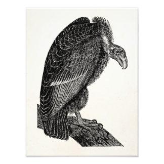 Vintage Californian Vulture Bird - Birds Template Photo Print