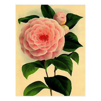 Vintage camellia postcard