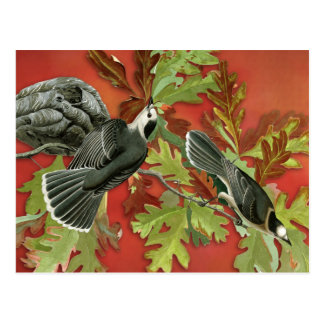 Vintage Canada / Gray Jay Illustration (Audubon) Postcard