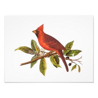 Vintage Cardinal Song Bird Illustration - 1800's Photo