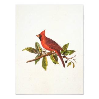 Vintage Cardinal Song Bird Illustration - 1800's Photo Print