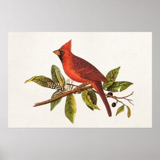 Vintage Cardinal Song Bird Illustration - 1800's Poster
