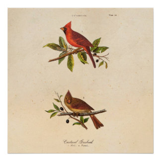 Vintage Cardinal Song Bird Illustration - 1800's Poster