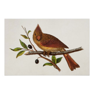 Vintage Cardinal Song Bird Illustration - Female Poster