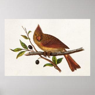 Vintage Cardinal Song Bird Illustration - Female Posters