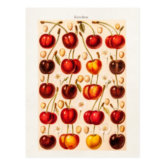 Vintage Cherry Varieties Antique Cherries Fruit Postcard