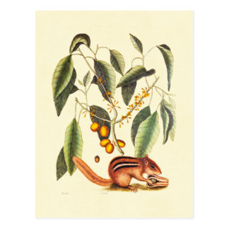Vintage Chipmunk Illustration Postcard