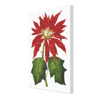 Vintage Christmas, Red Poinsettia Winter Plant Stretched Canvas Print