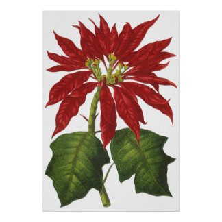Vintage Christmas, Red Poinsettia Winter Plant Posters
