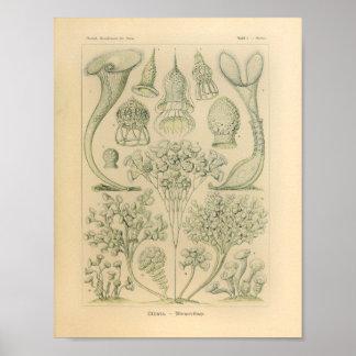 Vintage Ciliata Color Ernst Haeckel Print
