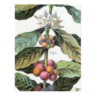 Vintage Coffee bean Artwork Postcard