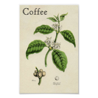 Vintage Coffee Plant Poster