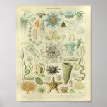 Vintage Color Jellyfish Sea Life Art Print