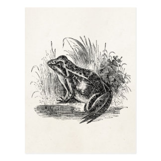 Vintage Common Frog - Reptile Frogs Template Blank Postcard