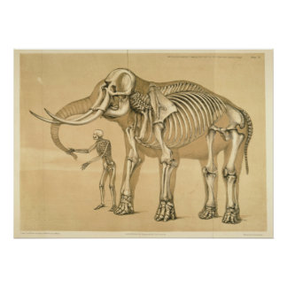 Vintage Comparative View Human and Elephant Poster