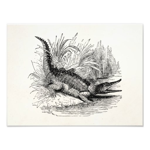 Vintage Crocodile - Reptile Template Blank Photograph
