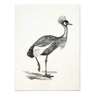 Vintage Crowned Crane Bird Illustration Template Photograph