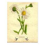 Vintage Daisy Botanical Illustration Post Card