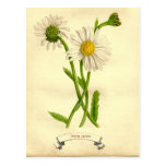 Vintage Daisy Botanical Illustration Postcard