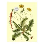 Vintage Dandelion Illustration Post Cards