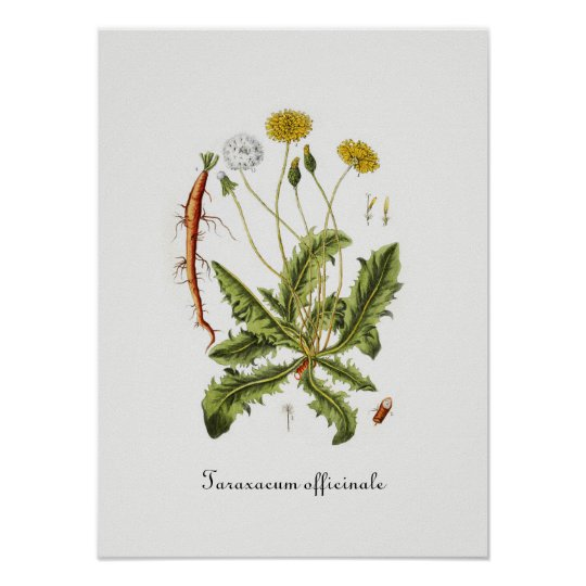 Vintage Dandelion Illustration Poster