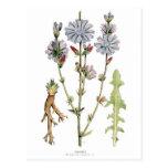 Vintage de la achicoria botánico tarjeta postal