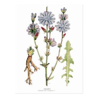 Vintage de la achicoria botánico tarjetas postales