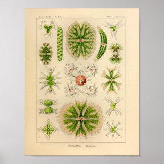 Vintage Desmidiea Color Ernst Haeckel Print