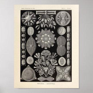 Vintage Diatomea Ernst Haeckel Art Print
