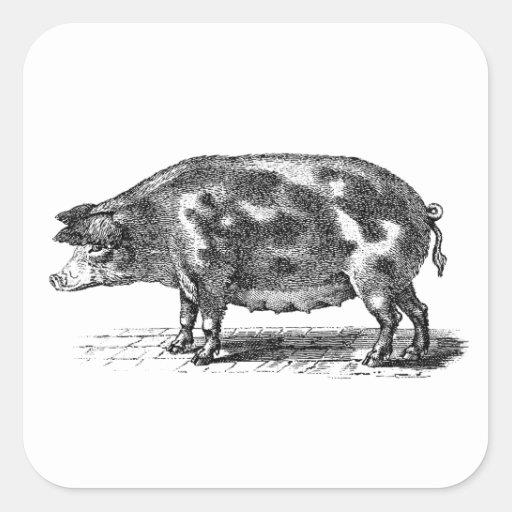 Vintage Domestic Pig Illustration - 1800's Hogs Square Stickers