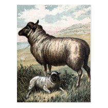 Vintage Drawing: Blackhead Persian Sheep Postcard