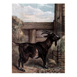 Vintage Drawing: Dark Brown Goat Postcard