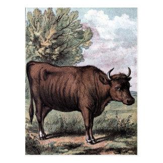 Vintage Drawing: Red Heifer Postcard