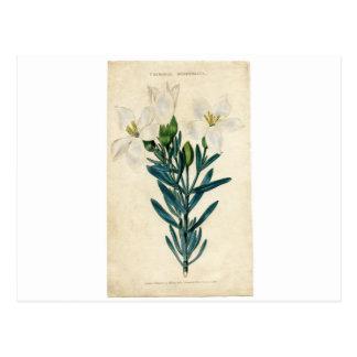Vintage Easter Lily Postcard