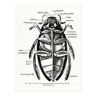 Vintage Entomology Hydrophilidae Scavenger Beetle Postcard