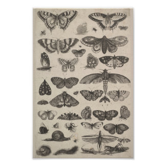 Vintage Entomology Lepidoptera Insects Poster