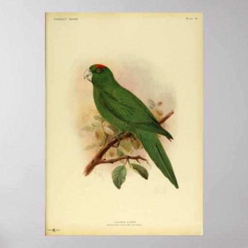 Vintage extinto 1908 del Parakeet de Guadalupe del Impresiones
