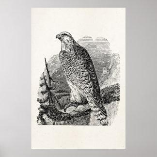 Vintage Falcon Bird - Birds Template Blank Posters