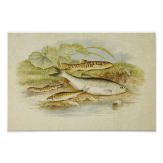 Vintage Fish Print 018 | Loach, Minnow and Bleak