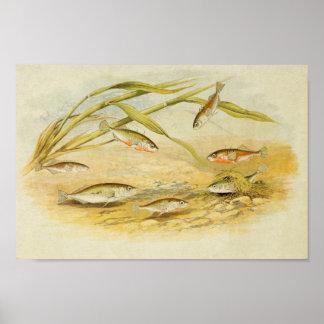 Vintage Fish Print 019   Sticklebacks