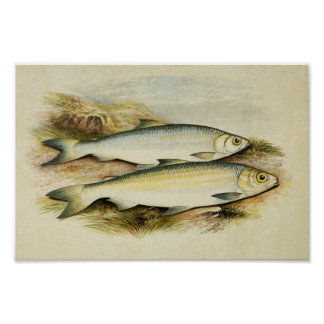 Vintage Fish Print 029 | Pollan and Powan