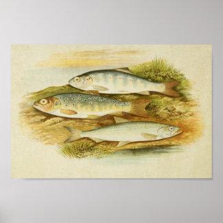 Vintage Fish Print 041 | Trout, Salmon & Parr