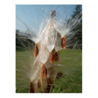 Vintage Flora and Fauna Milkweeds Floating.jpg Postcard