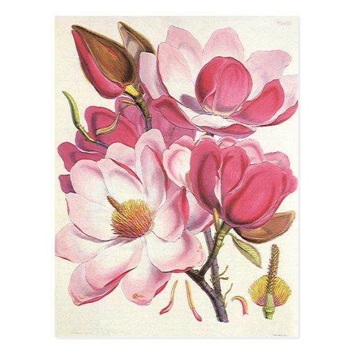 Vintage Floral, Blooming Pink Magnolia Flowers Post Cards