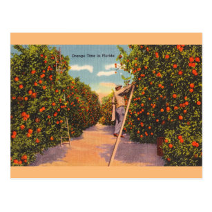 Vintage Florida Orange Groves Postcard